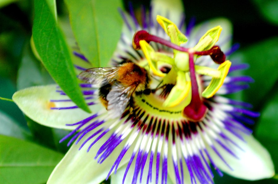 passiflora__bee_by_femketje-d128whm