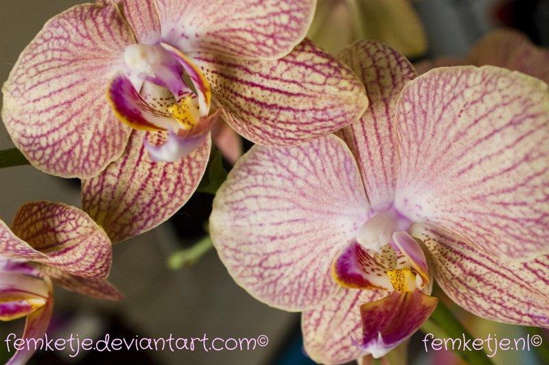 orchid_by_femketje-d70o2qr