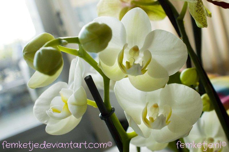 orchid_by_femketje-d70o59e
